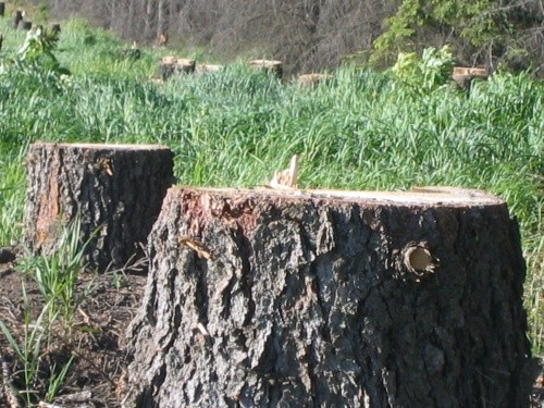BEFORE - Pine Stumps